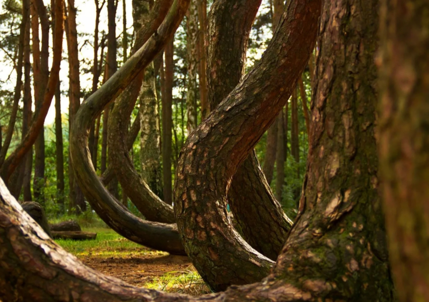 Танцующий лес в Польше