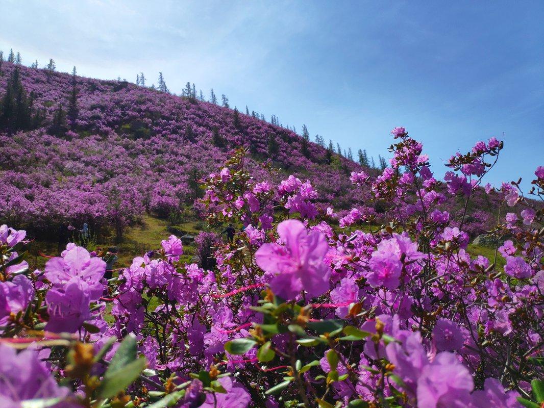цветение маральника Алтай