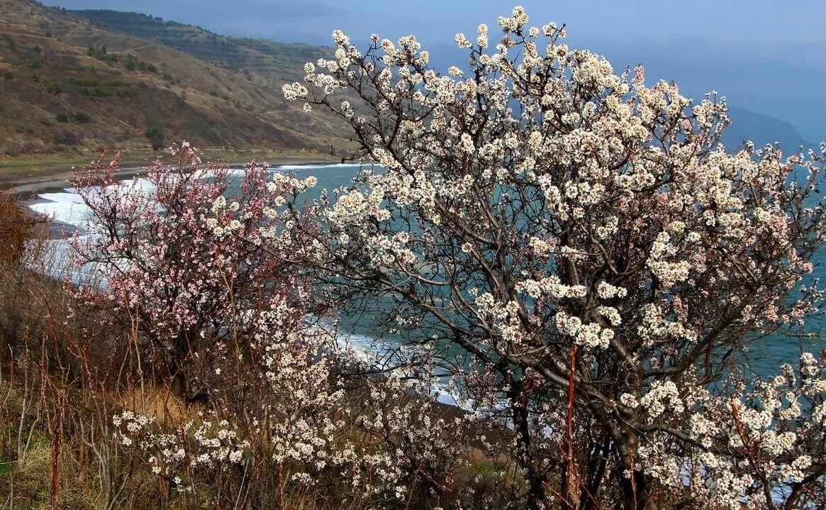 Цветение миндаля в Крыму