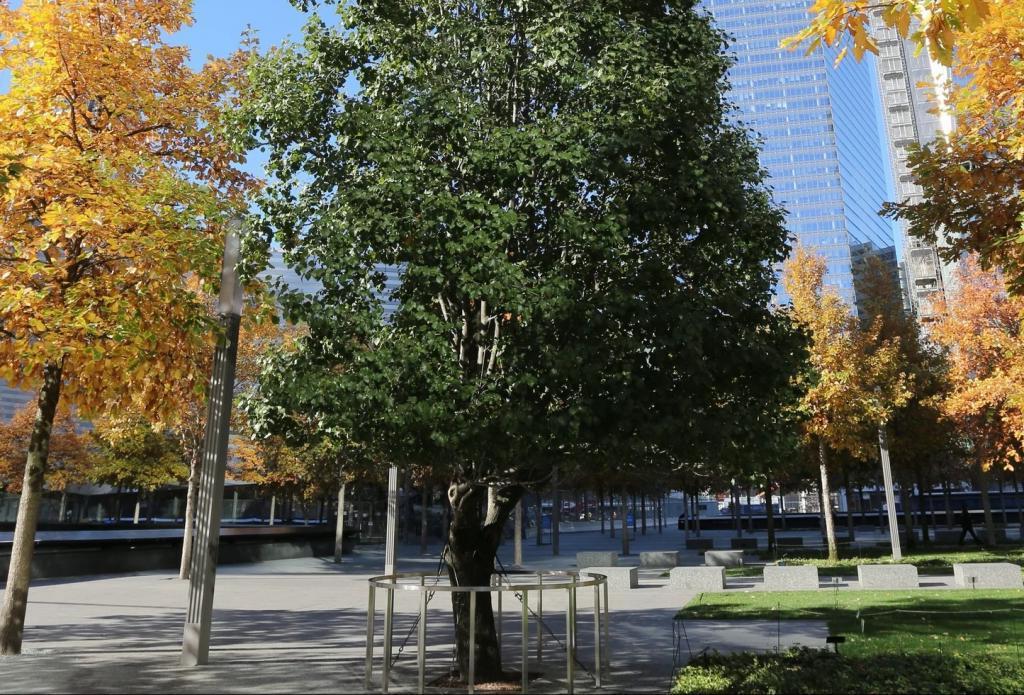 Выживший дуб 11 сентября 2001 года